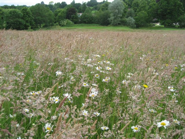 abbey fields meadow flowering 130703 001