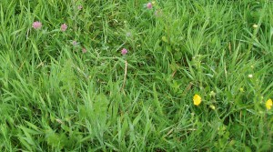 Red Clover and Meadow Buttercup