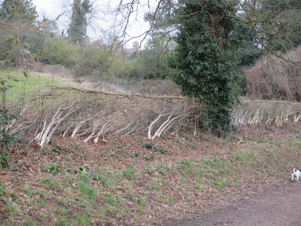 Newly laid hedge by the pony paddock.