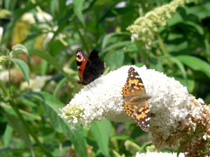 2017: Butterflies on Buddleia Photo courtesy of Dave Rickers